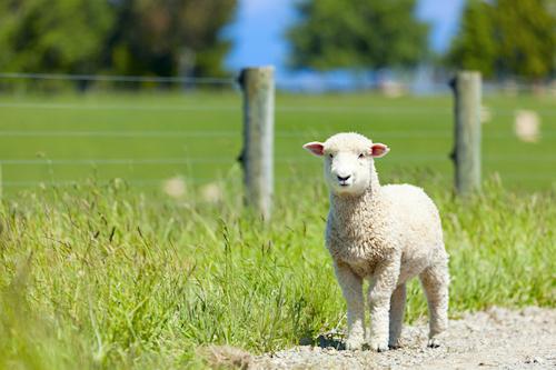 Bauernhof - Lamm