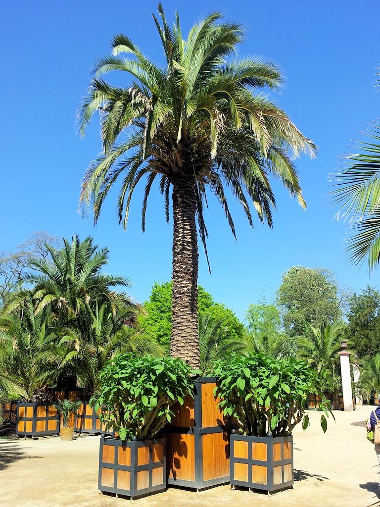 Eine der 330 Palmen im Kurgarten von Bad Pyrmont