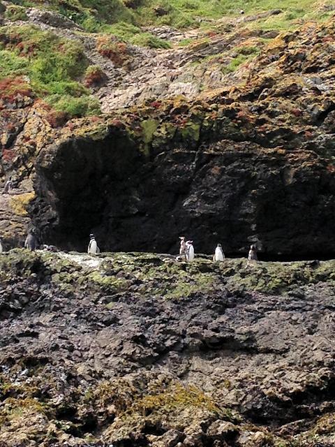 Pinguine vor der Insel Chiloé
