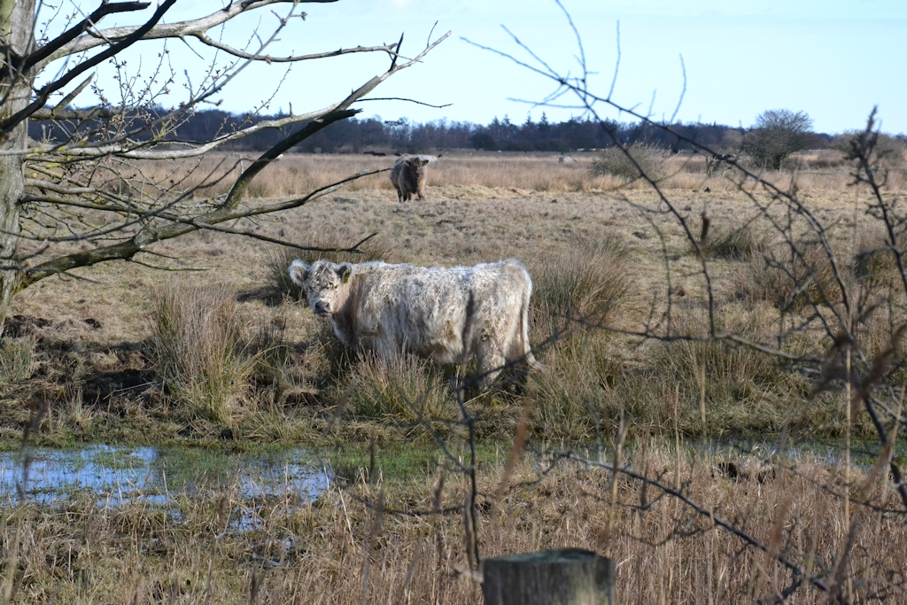 Galloway Rind auf der Geltinger Birk