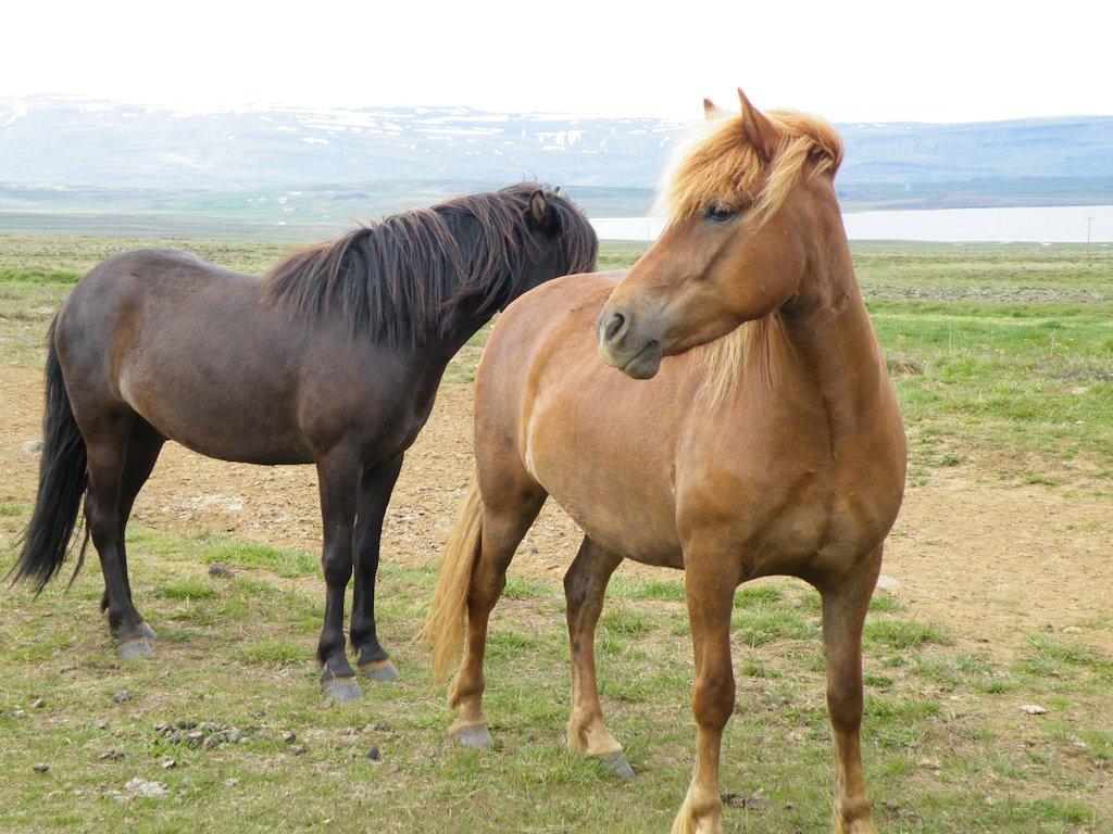 Allgegenwärtig: Die kleinen Islandpferde und oftmals nicht eingezäunt