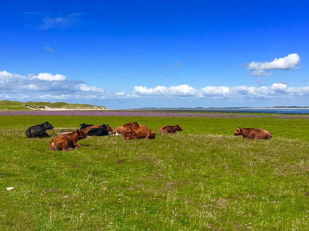 Rinder und Halligflieder auf der Ostseite der Insel