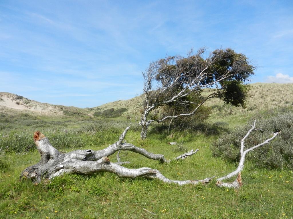 Baum und Dünen im Nationalpark Zuid-Kennemerland