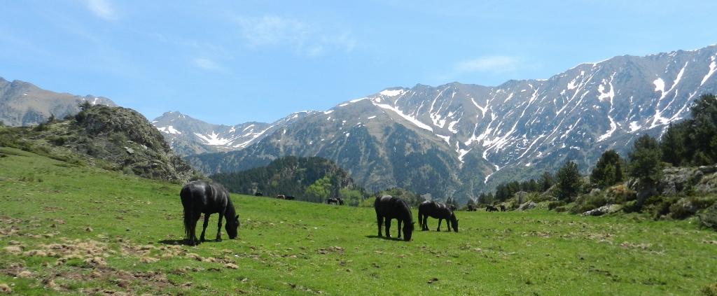 Halbwilde Mérens-Pferde auf dem Weg zum Lac de Font Vive