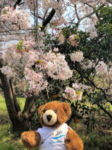 Blühende Kirschbäume auf Jeju Island