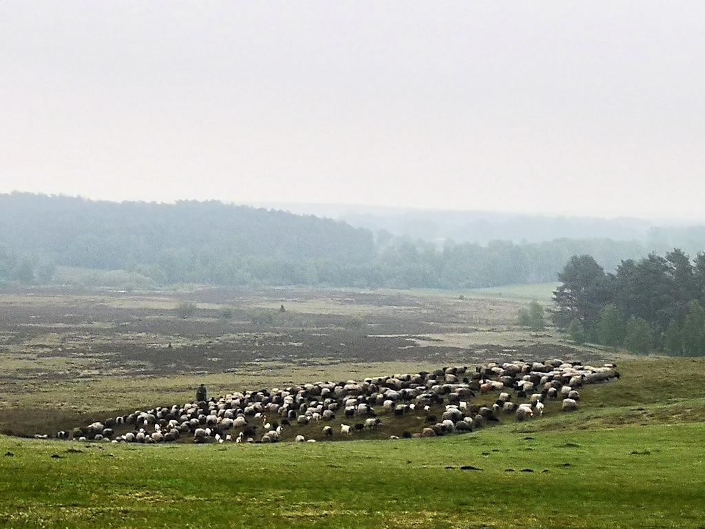 Deutschland zu Fuß - Heidschnucken in der Lüneburger Heide