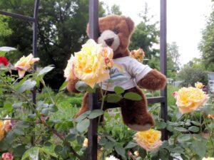 Der Urlaubär schnuppert an Rosen