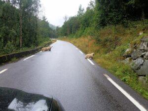 Immer wieder Schafe auf den Straßen