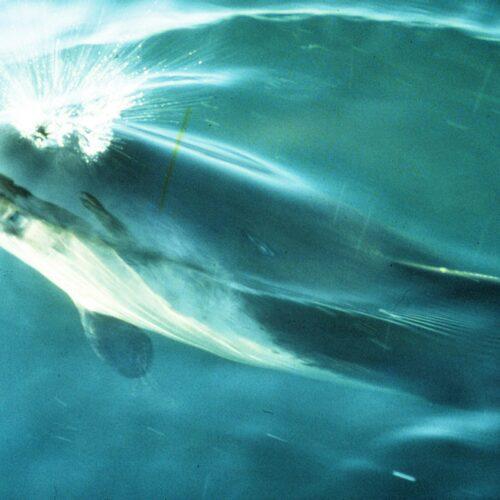 Schweinswal beim Luftholen