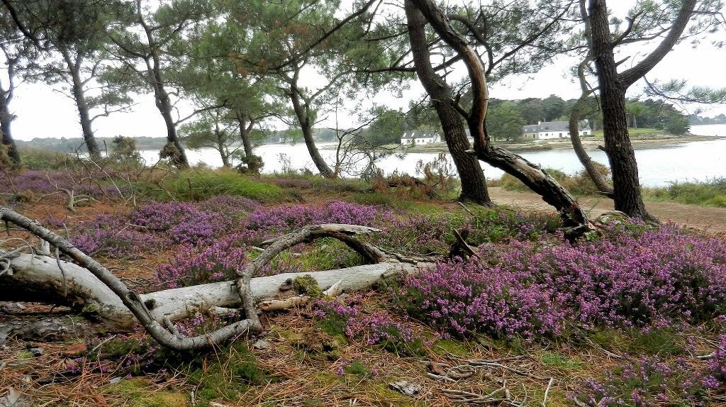 Morbihan - Späte Heide bei Brillac